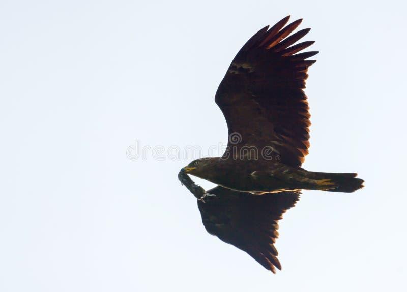 Adulto pouca águia manchada que fluing no céu cinzento com o rato travado em seu bico para aninhar-se crianças fotos de stock
