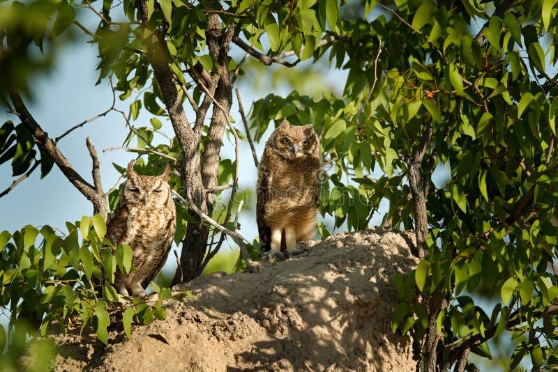Adulto y búho joven El eagle-búho manchado, africanus del bubón, es búho africano en el hábitat de la naturaleza en Etocha NP, Na fotografía de archivo libre de regalías