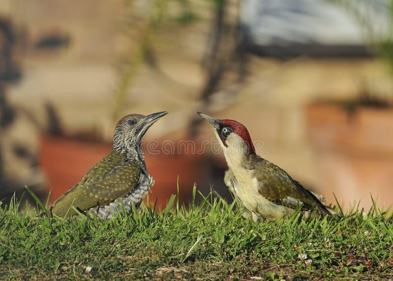 Adulto y polluelo de la pulsación de corriente verde fotografía de archivo libre de regalías