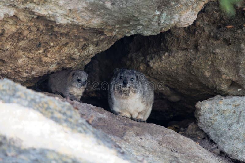 Adulto y una capensis joven del Procavia del hyrax de roca imagenes de archivo