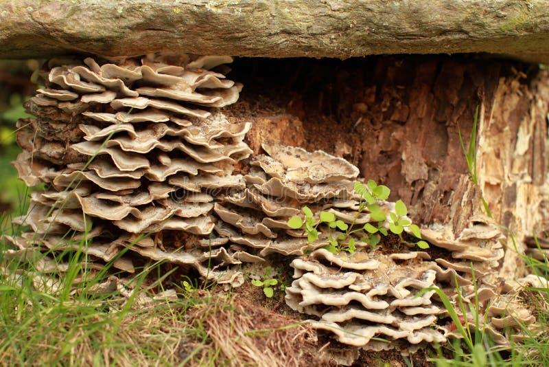 Adusta de Bjerkandera de champignon de couche image stock