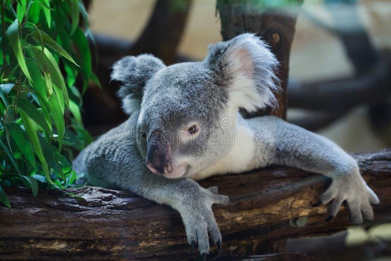 Adustus cinereus Phascolarctos коалы Квинсленда стоковая фотография