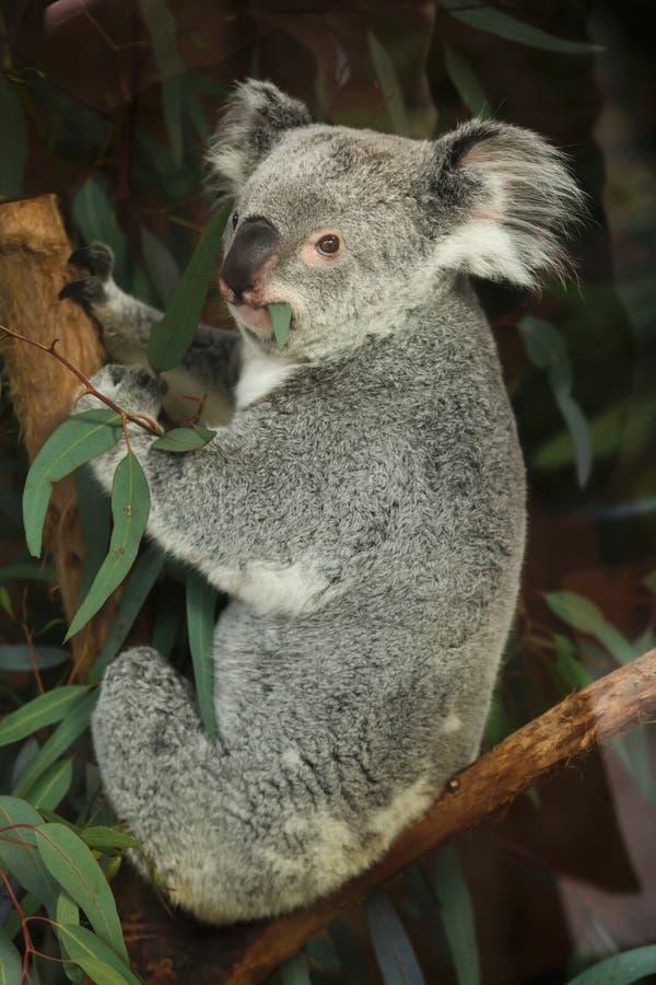 Adustus cinereus Phascolarctos коалы Квинсленда стоковое изображение rf