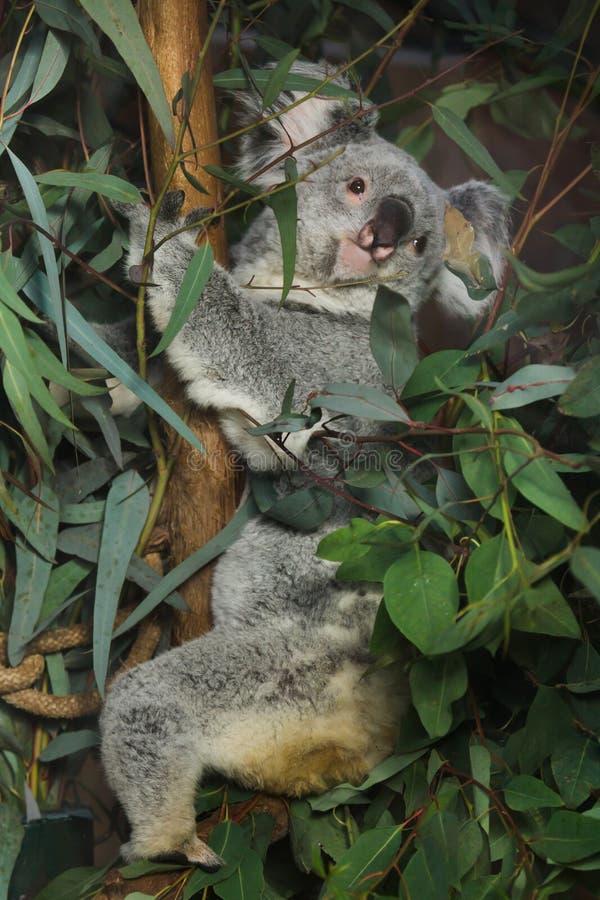 Adustus cinereus Phascolarctos коалы Квинсленда стоковое фото rf