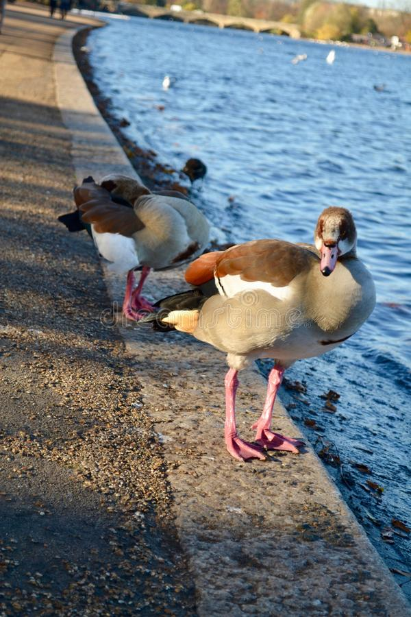Advancing duck royalty free stock image