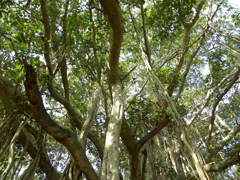 Adventitious корни упорки большого баньяна стоковое изображение