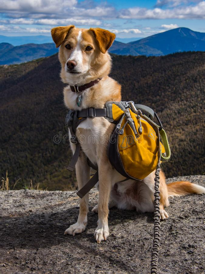 Adventure Dog on Mountain Summit. A dog with a backpack on a mountain summit in New York`s Adirondack State Park stock photos