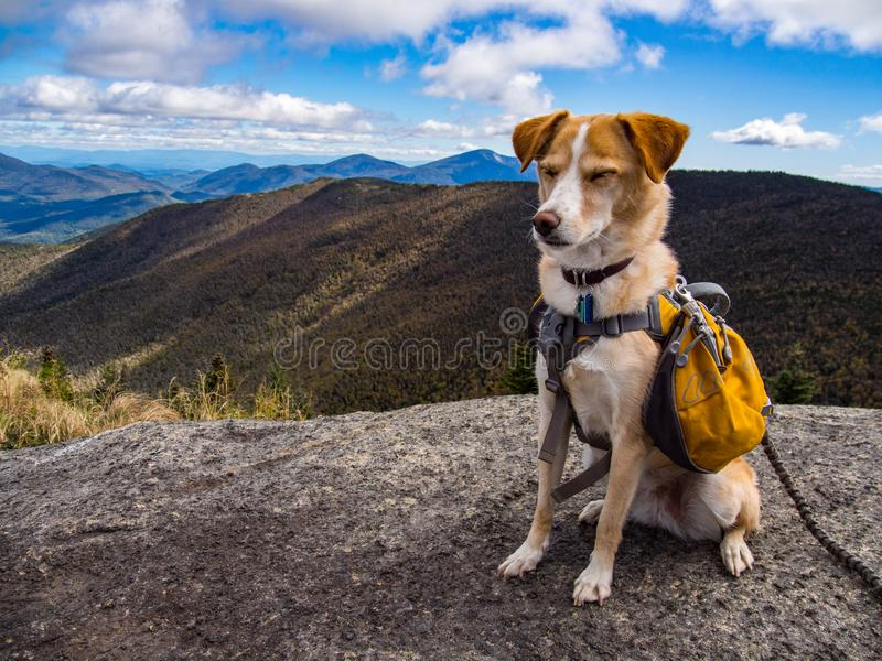 Adventure Dog on Mountain Summit. A dog with a backpack on a mountain summit in New York`s Adirondack State Park royalty free stock photography