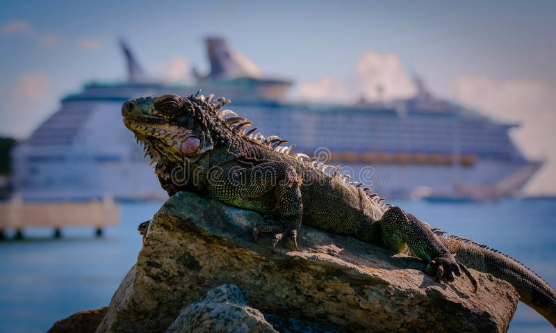 Adventure of the seas. I passed a warm rock in Yacht Haven grande in St. Thomas. The iguana is guarding it. The ship in the background is Royal Caribbeans the royalty free stock image