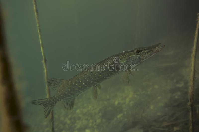 Picture of young wild pike fish in nature habitat. Green and grey colors. Adventurous picture of wild pike in nature habitat. Huge water volume with offshore stock images