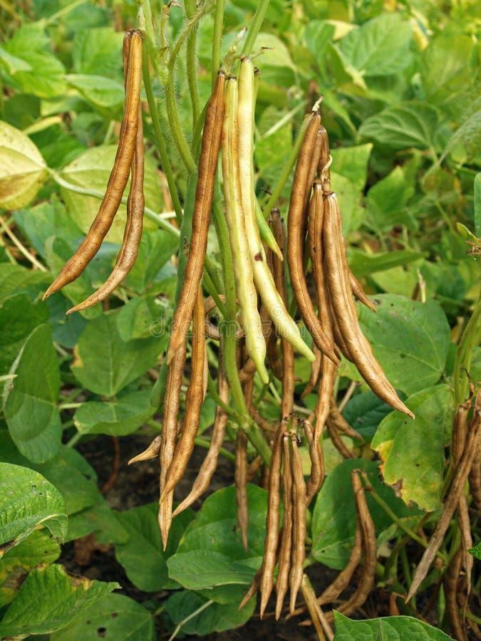 Free Adzuki Bean Pods, Vigna Angularis Stock Image - 26876841