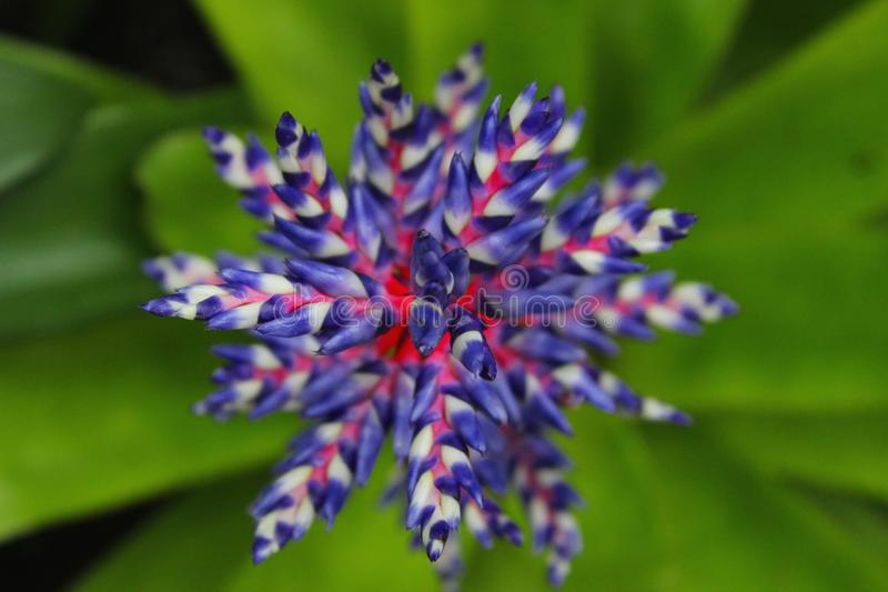 Aechmea Blue Tango Flower royalty free stock images