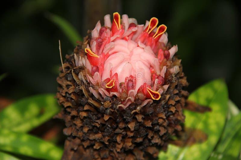 Aechmea fasciata zdjęcie royalty free
