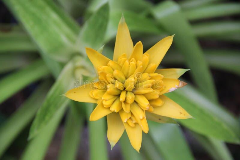 Aechmea fasciata zdjęcie stock