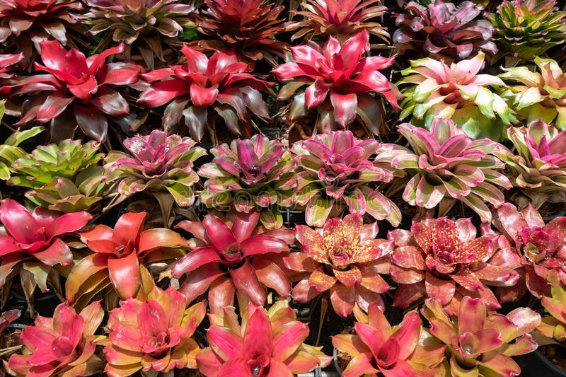 Aechmea fasciata plant garden background in colorful vibrant shades of red, pink, purple, white and green color royalty free stock photo