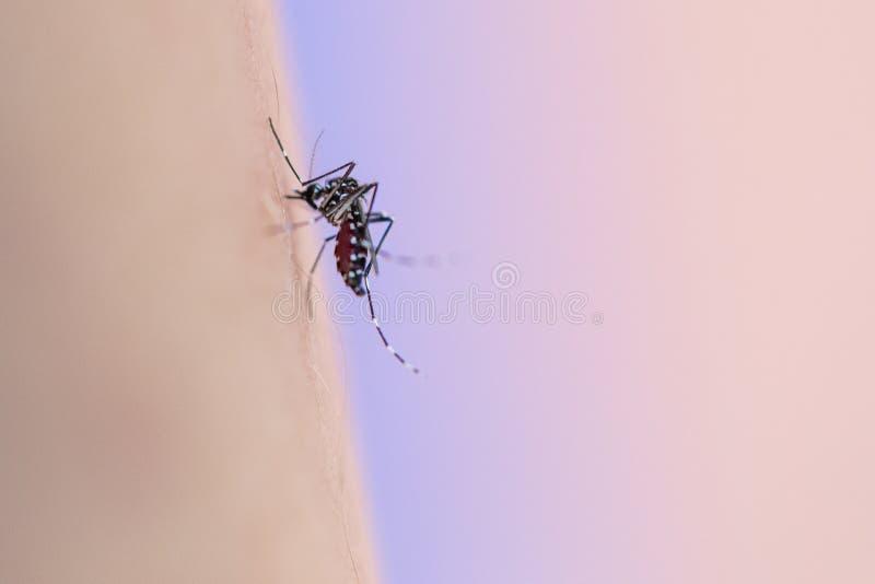 Aedes απορροφώντας άνθρωπος αίματος aegypti στοκ φωτογραφία με δικαίωμα ελεύθερης χρήσης