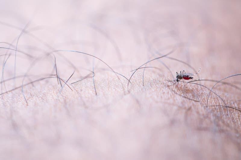 Aedes απορροφώντας άνθρωπος αίματος aegypti στοκ εικόνες με δικαίωμα ελεύθερης χρήσης