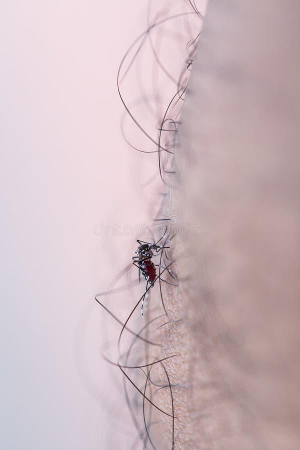 Aedes απορροφώντας άνθρωπος αίματος aegypti στοκ φωτογραφία