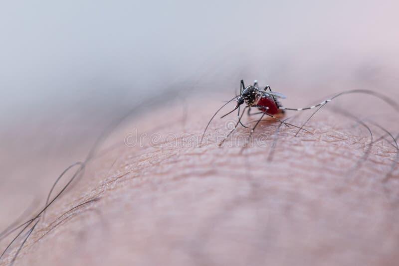 Aedes απορροφώντας άνθρωπος αίματος aegypti στοκ φωτογραφίες