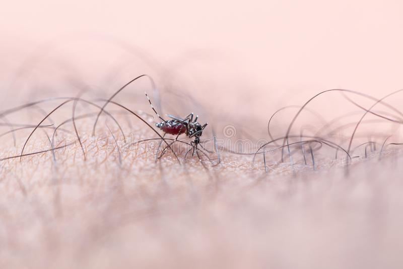Aedes απορροφώντας άνθρωπος αίματος aegypti στοκ εικόνες
