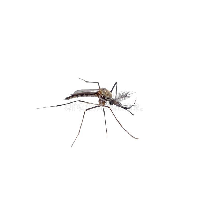 Aedes ειδών κουνουπιών πλευρά aegyti στοκ φωτογραφίες με δικαίωμα ελεύθερης χρήσης