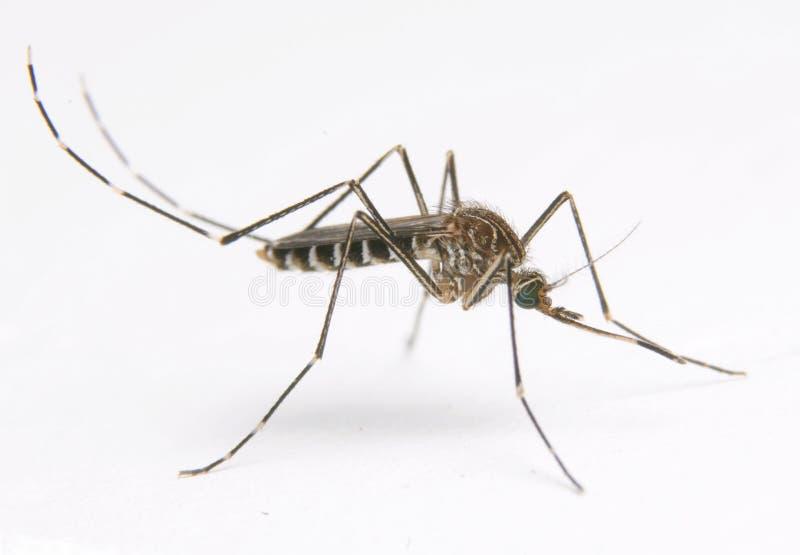 Aedes κουνούπι elsiae στοκ εικόνες