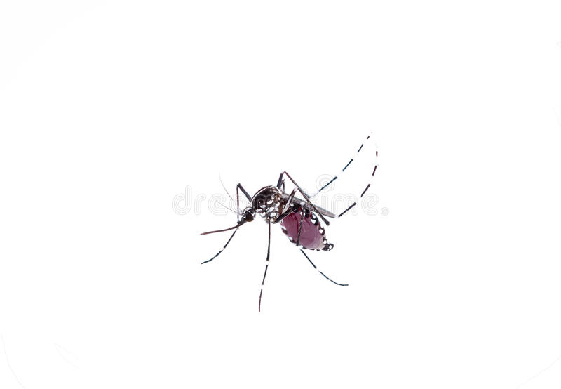 Aedes Aegypti Feche acima de um sangue humano de sugação do mosquito, Vetor-BO fotos de stock royalty free