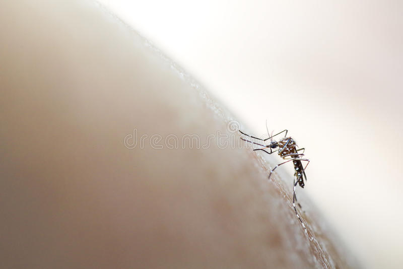 Aedes aegypti mosquito biting/sucking into human skin, soft focus medical background royalty free stock photo