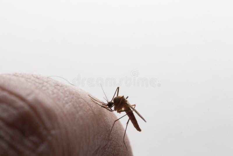 Aedes Aegypti Sluit omhoog een Mug die menselijk bloed zuigen royalty-vrije stock foto's