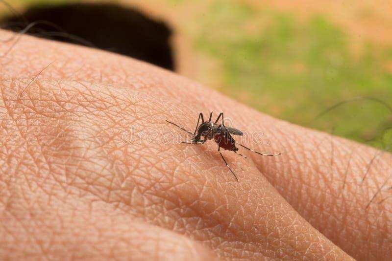Aedes Aegypti Sluit omhoog een Mug die menselijk bloed zuigen stock afbeeldingen