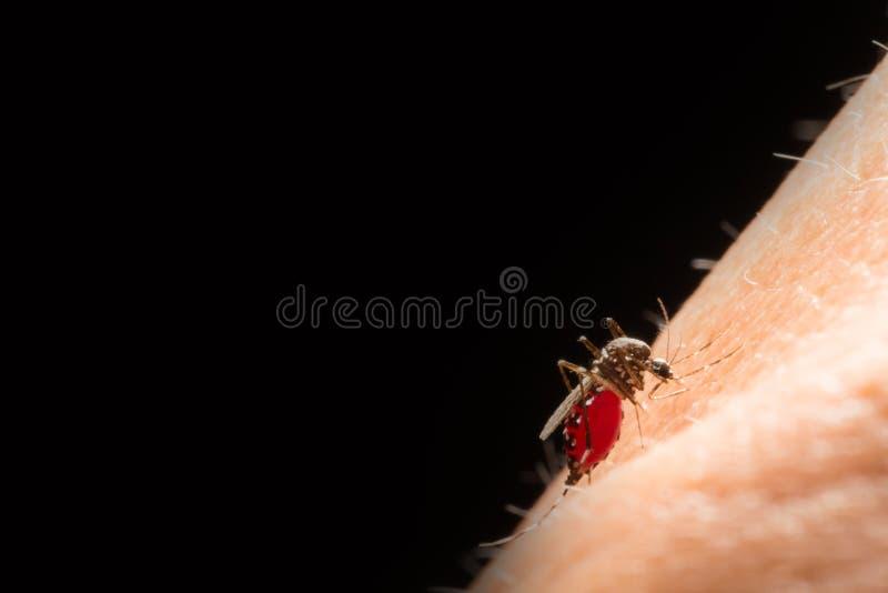 Aedes Aegypti Stäng sig upp ett sugande människoblod för mygga, Vektor-Bo royaltyfria bilder