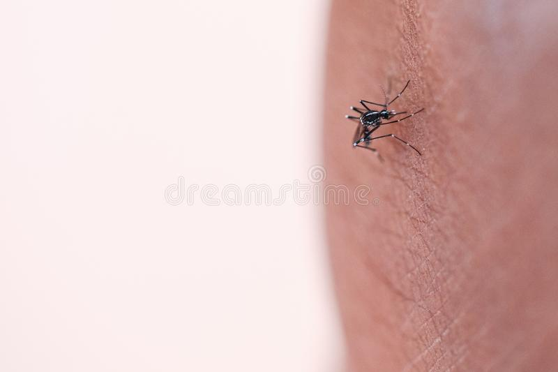 Aedes aegypti sucking blood human. stock images
