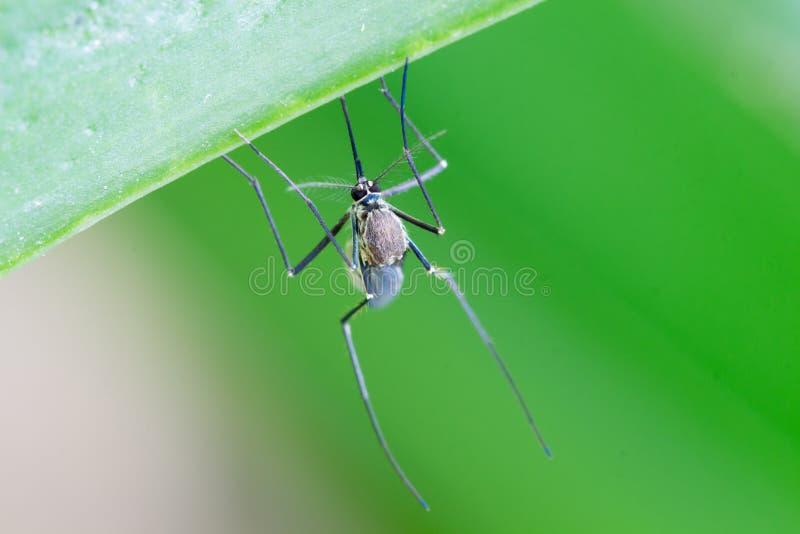 Aedes aegyptimug Sluit omhoog een Mugmug op blad, Mos royalty-vrije stock afbeelding