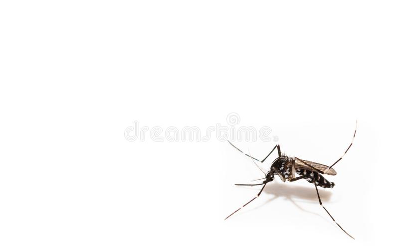 Aedes albopictus mosquito sucking blood on skin, stock image
