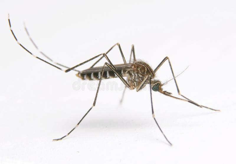 Aedes elsiae mosquito. Medical insect,potential vector of Dengue fever and Zika. Field mosquito,the habitat is ponding of rocks aside mountain stream stock images