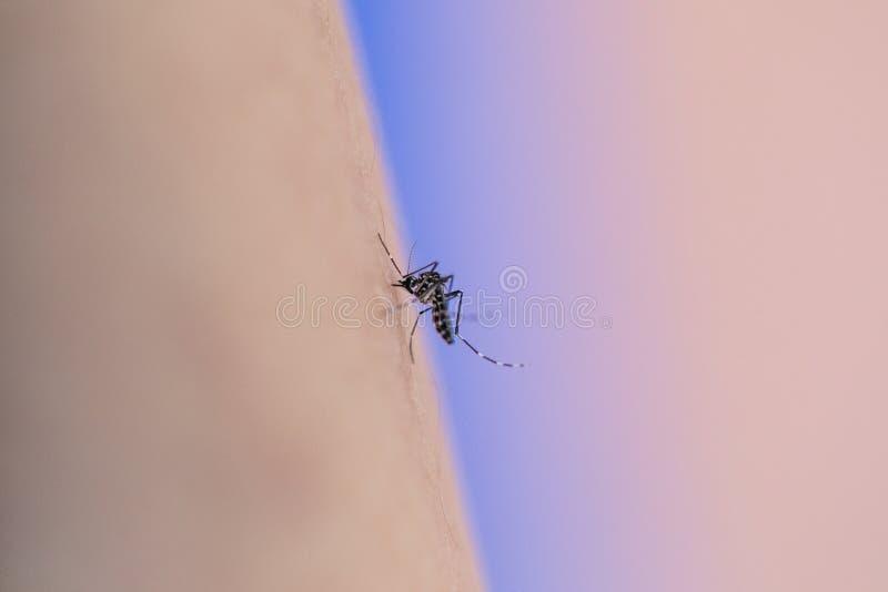 Aedes mens van het aegypti de zuigende bloed stock foto's