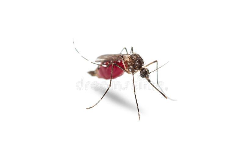 Aedes van de gele koortsmug aegypti stock afbeelding