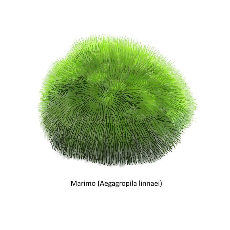 Aegagropila linnaei, known as Marimo, Ball seaweed, Cladophora ball, Lake ball, Mossimo or Moss Balls. Species of filamentous green algae Chlorophyta. Hand royalty free illustration