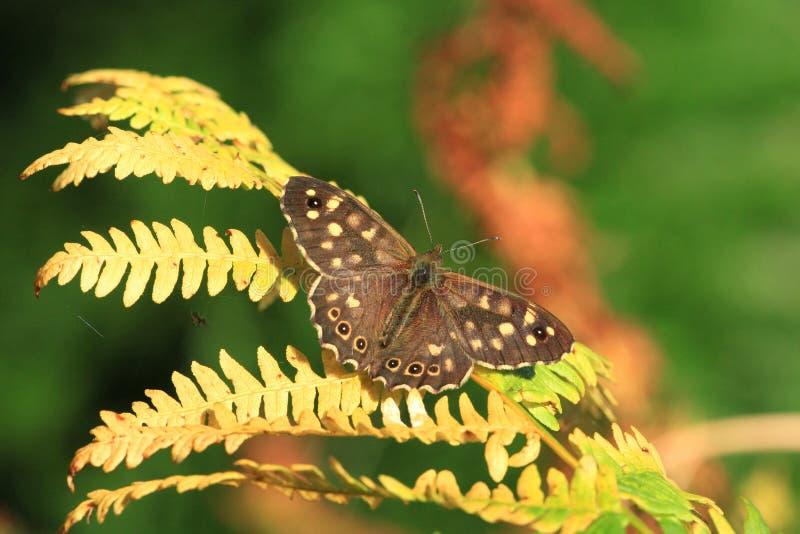 aegeria motyliego pararge cętkowany drewno zdjęcie royalty free