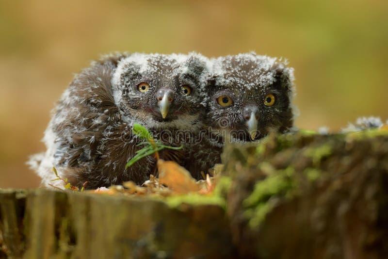 Aegolius funereus -北方猫头鹰-刚孵出的雏幼鸟 免版税库存图片