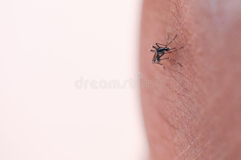 Aegypti do Aedes que suga o ser humano do sangue imagens de stock