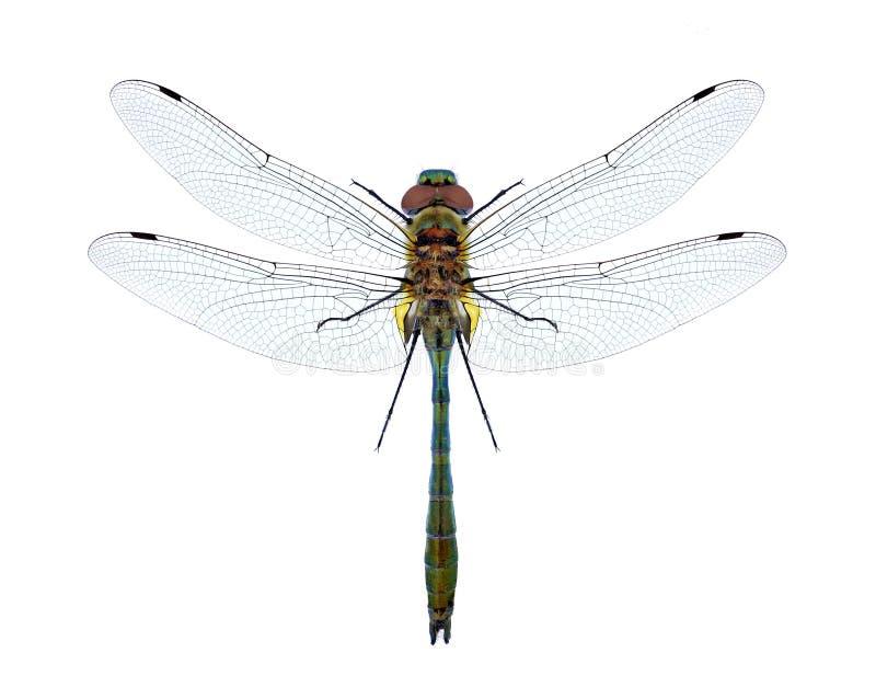 Aenea de Cordulia de la libélula imagen de archivo