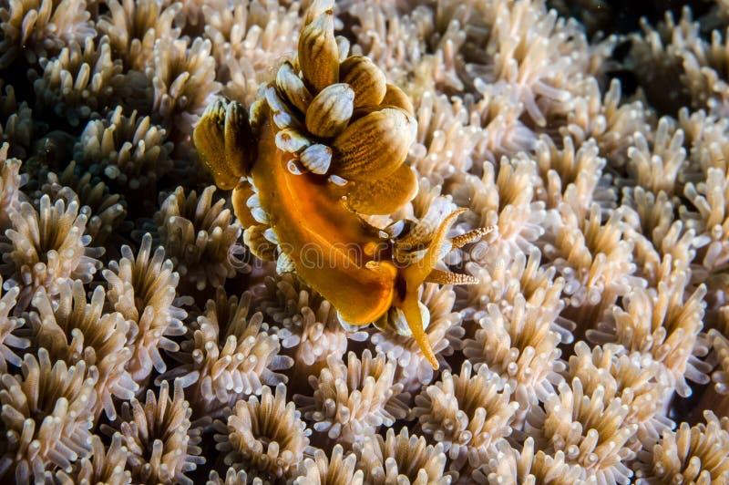 Aeolid nudibranch w Derawan, Kalimantan, Indonezja podwodna fotografia zdjęcia royalty free