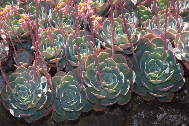 Aeonium δέντρων στοκ εικόνες
