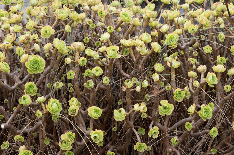 Download Aeonium Arboreum In Galicia, Spain. Stock Image - Image: 21338603