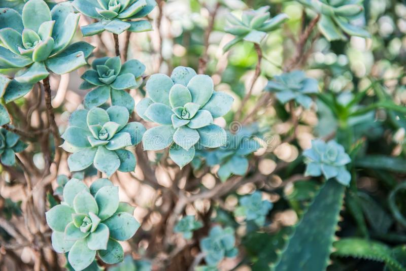 Aeonium gomerense. Is listed as Endangered for its extent of occurrence is lower than 500 km2, its area of occupancy is 5 km2, it is found in six locations, two stock image