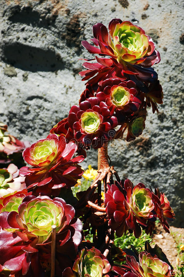 Aeonium plant. Colorful aeonium plant in desert royalty free stock photography