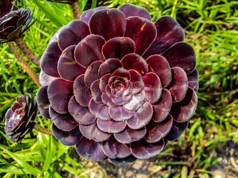 Aeonium roxo imagem de stock