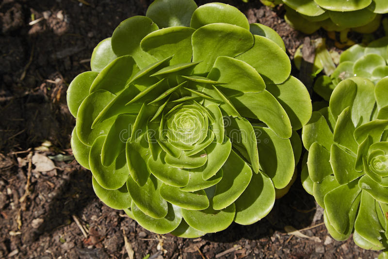 Aeonium. A single floret of a green Aeonium arboreum stock photos