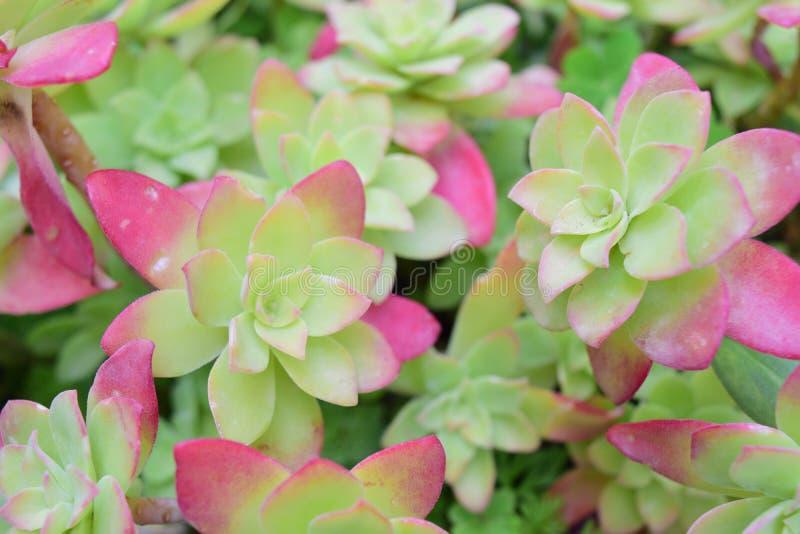 Aeonium succulent στα ρόδινα κόκκινα φύλλα δοχείων στοκ εικόνες με δικαίωμα ελεύθερης χρήσης